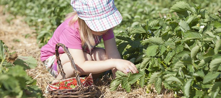 Ein Kind erntet Erdbeeren auf einem unserer geöffneten Selbstpflückerfelder.